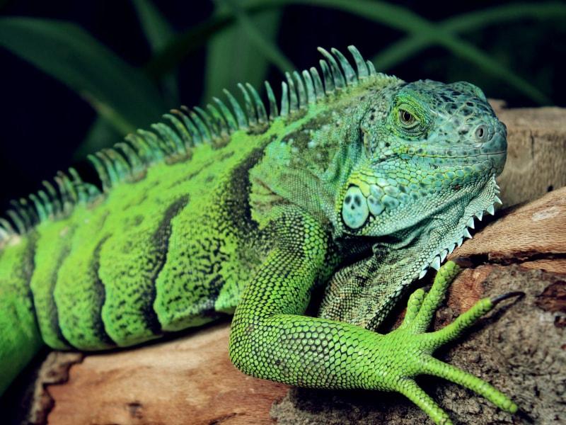 Iguana rinolopha