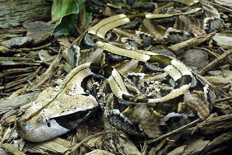 Scheda allevamento Vipera del Gabon