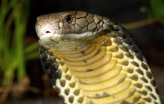 Scheda allevamento Cobra Reale